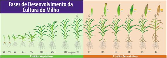 Figura 1. Fases de desenvolvimento da cultura do milho. Disponível em: https://blog.aegro.com.br/safra-de-milho/