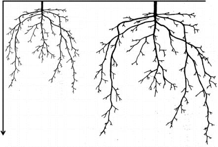 Figura 2. Benefícios da coinoculação às raízes. Fonte: Câmara, 2020.